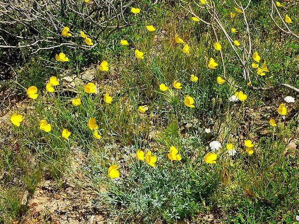 Pygmy Poppy (Eschscholzia Minutiflora) https://www.sagebud.com/pygmy-poppy-eschscholzia-minutiflora