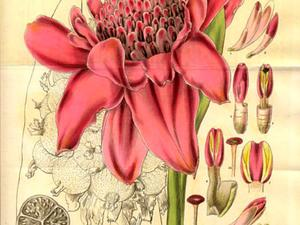 Torch-Ginger