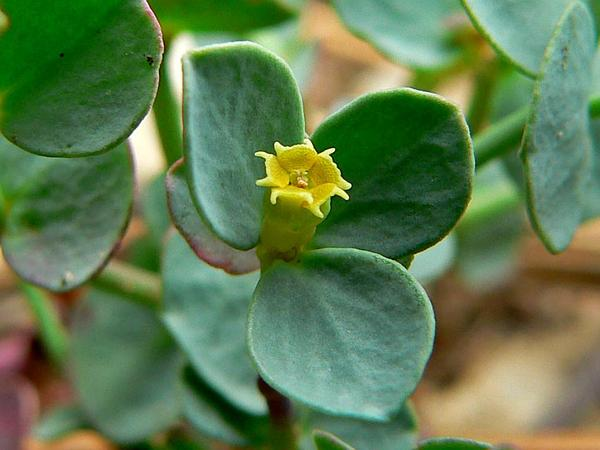 Horned Spurge (Euphorbia Brachycera) https://www.sagebud.com/horned-spurge-euphorbia-brachycera