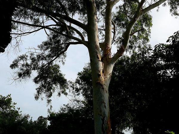River Redgum (Eucalyptus Camaldulensis) https://www.sagebud.com/river-redgum-eucalyptus-camaldulensis/