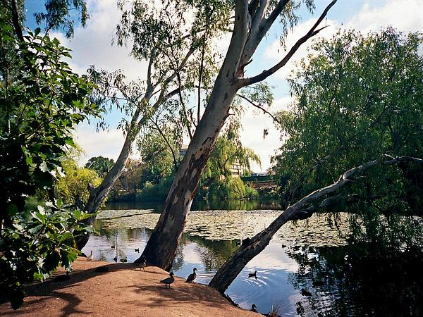 River Redgum (Eucalyptus Camaldulensis) https://www.sagebud.com/river-redgum-eucalyptus-camaldulensis