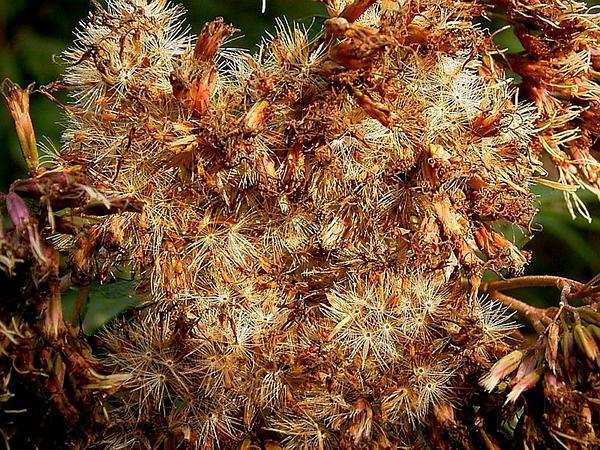 Hemp Agrimony (Eupatorium Cannabinum) https://www.sagebud.com/hemp-agrimony-eupatorium-cannabinum