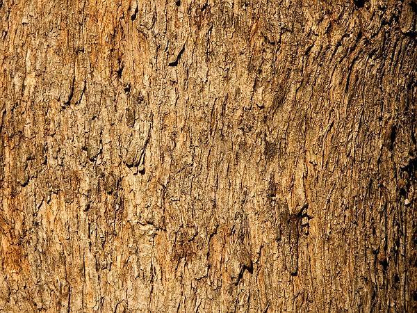Gum (Eucalyptus) https://www.sagebud.com/gum-eucalyptus