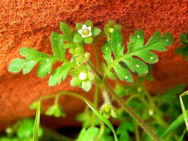 Spotted Hideseed (Eucrypta Chrysanthemifolia) https://www.sagebud.com/spotted-hideseed-eucrypta-chrysanthemifolia
