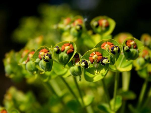 Albanian Spurge (Euphorbia Characias) https://www.sagebud.com/albanian-spurge-euphorbia-characias