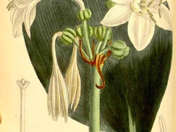 Amazonlily (Eucharis) https://www.sagebud.com/amazonlily-eucharis/