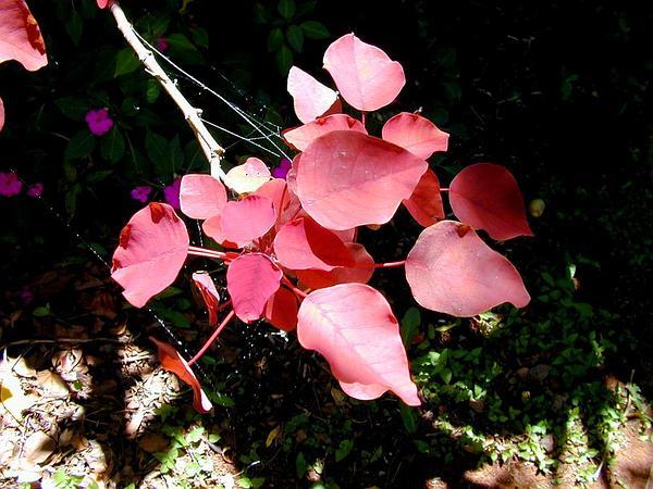 Mexican Shrubby Spurge (Euphorbia Cotinifolia) https://www.sagebud.com/mexican-shrubby-spurge-euphorbia-cotinifolia