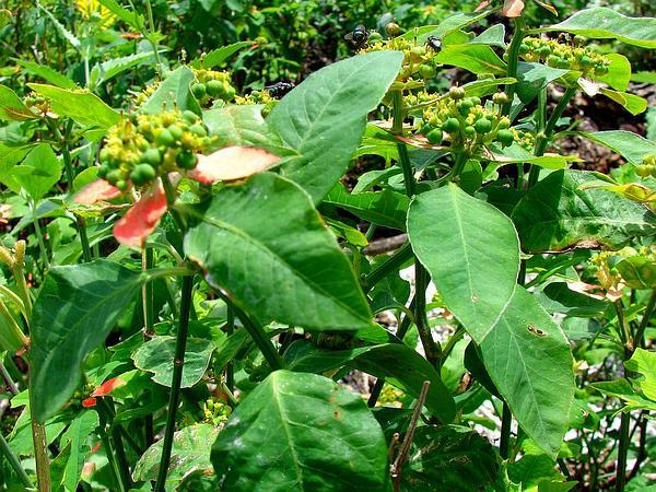 Fire On The Mountain (Euphorbia Cyathophora) https://www.sagebud.com/fire-on-the-mountain-euphorbia-cyathophora