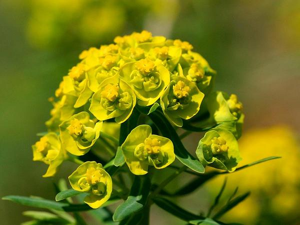 Cypress Spurge (Euphorbia Cyparissias) https://www.sagebud.com/cypress-spurge-euphorbia-cyparissias/