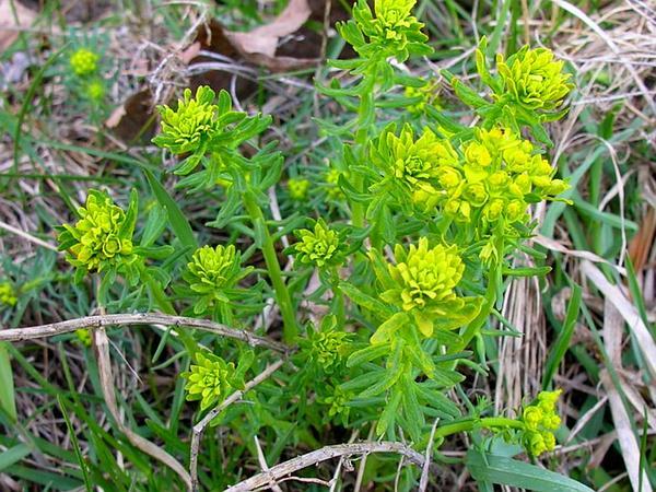 Cypress Spurge (Euphorbia Cyparissias) https://www.sagebud.com/cypress-spurge-euphorbia-cyparissias