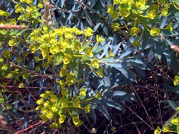 Tree Spurge (Euphorbia Dendroides) https://www.sagebud.com/tree-spurge-euphorbia-dendroides
