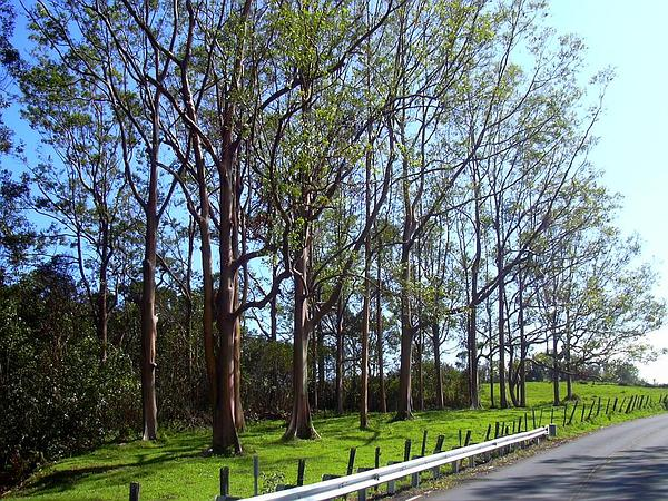Indonesian Gum (Eucalyptus Deglupta) https://www.sagebud.com/indonesian-gum-eucalyptus-deglupta