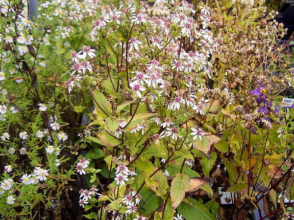 White Wood Aster (Eurybia Divaricata) https://www.sagebud.com/white-wood-aster-eurybia-divaricata