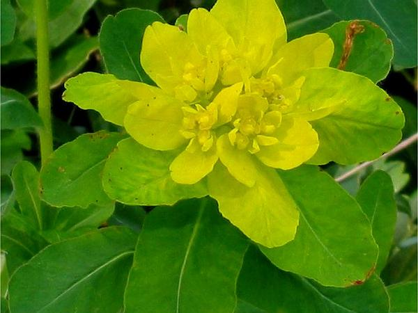 Cushion Spurge (Euphorbia Epithymoides) https://www.sagebud.com/cushion-spurge-euphorbia-epithymoides