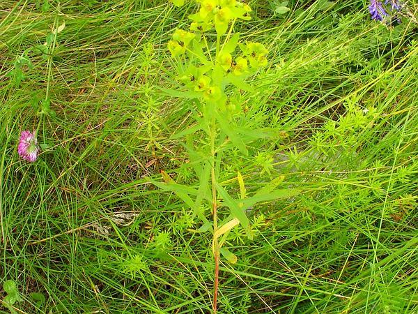 Leafy Spurge (Euphorbia Esula) https://www.sagebud.com/leafy-spurge-euphorbia-esula