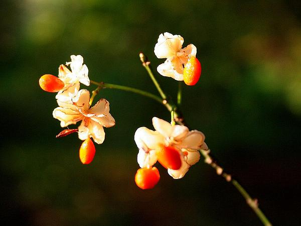 European Spindletree (Euonymus Europaeus) https://www.sagebud.com/european-spindletree-euonymus-europaeus