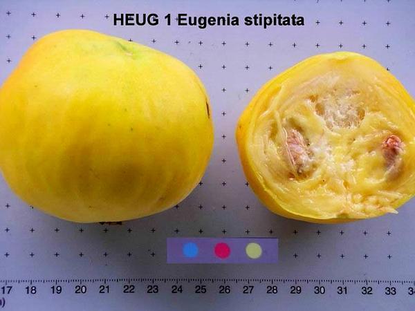 Stopper (Eugenia) https://www.sagebud.com/stopper-eugenia