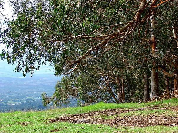 Tasmanian Bluegum (Eucalyptus Globulus) https://www.sagebud.com/tasmanian-bluegum-eucalyptus-globulus