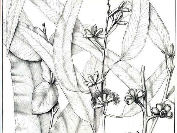 Mountain Graygum (Eucalyptus Goniocalyx) https://www.sagebud.com/mountain-graygum-eucalyptus-goniocalyx/