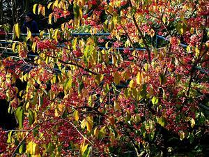 Hamilton's Spindletree