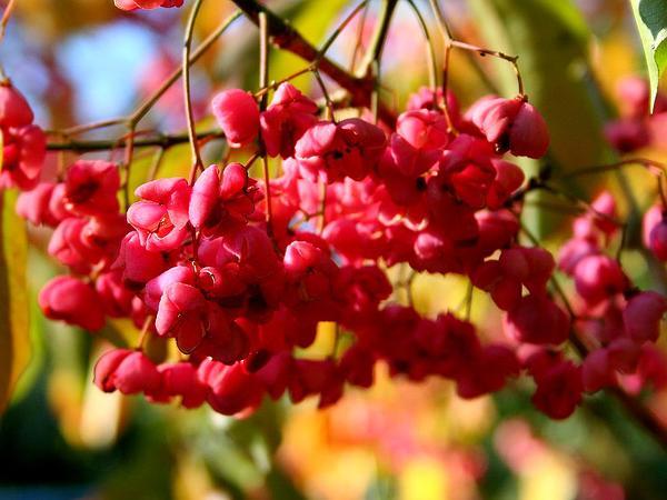 Hamilton's Spindletree (Euonymus Hamiltonianus) https://www.sagebud.com/hamiltons-spindletree-euonymus-hamiltonianus/