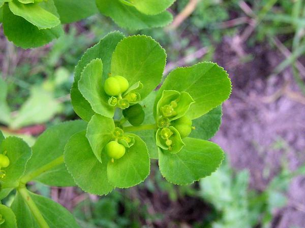 Madwoman's Milk (Euphorbia Helioscopia) https://www.sagebud.com/madwomans-milk-euphorbia-helioscopia