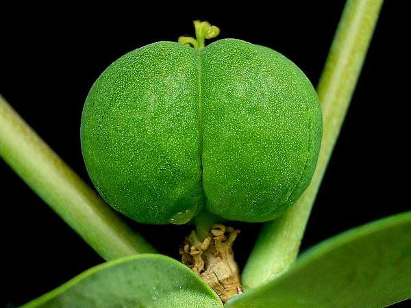 Moleplant (Euphorbia Lathyris) https://www.sagebud.com/moleplant-euphorbia-lathyris