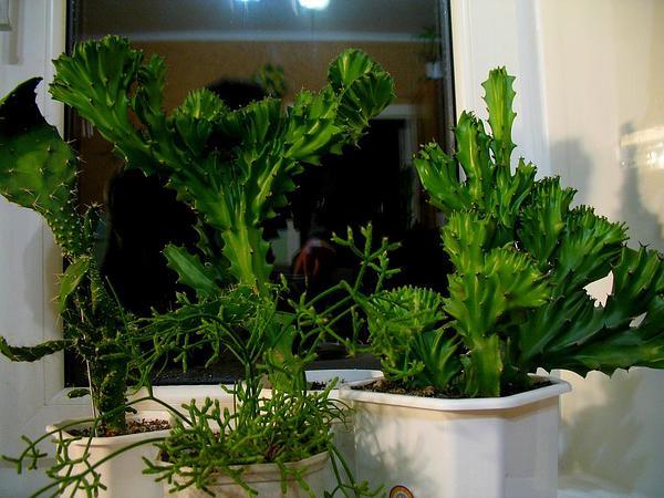Mottled Spurge (Euphorbia Lactea) https://www.sagebud.com/mottled-spurge-euphorbia-lactea