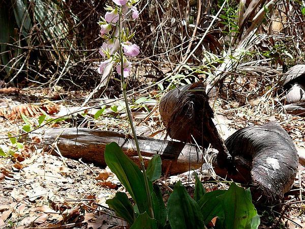 Wild Coco (Eulophia) https://www.sagebud.com/wild-coco-eulophia