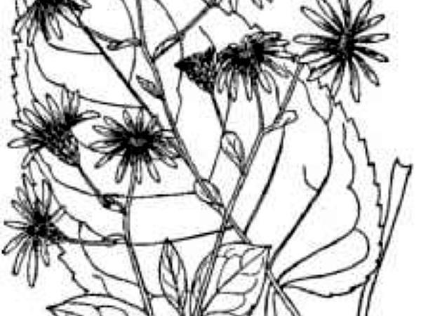 Bigleaf Aster (Eurybia Macrophylla) https://www.sagebud.com/bigleaf-aster-eurybia-macrophylla
