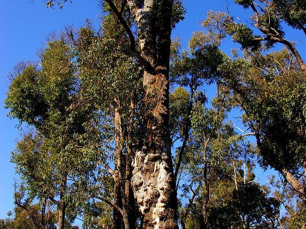 Jarrah (Eucalyptus Marginata) https://www.sagebud.com/jarrah-eucalyptus-marginata