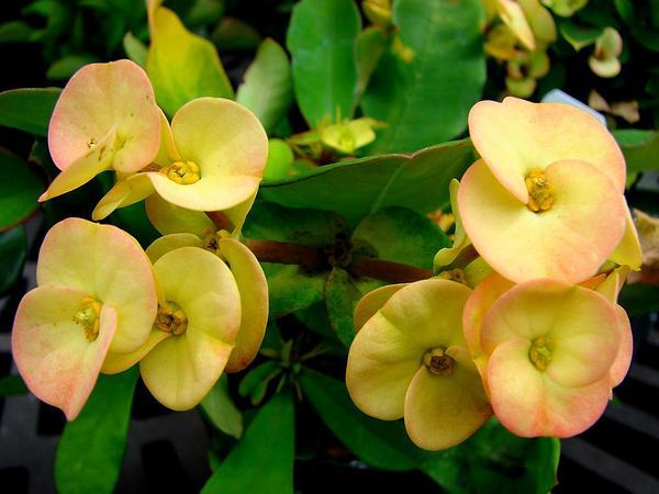 Christplant (Euphorbia Milii) https://www.sagebud.com/christplant-euphorbia-milii