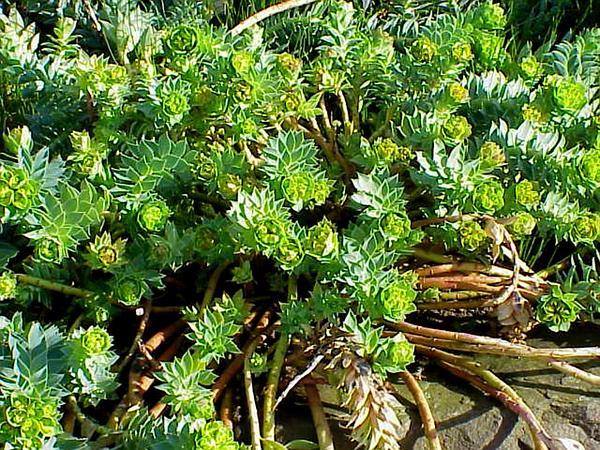 Myrtle Spurge (Euphorbia Myrsinites) https://www.sagebud.com/myrtle-spurge-euphorbia-myrsinites