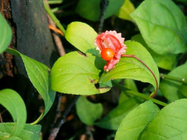 Spindletree (Euonymus) https://www.sagebud.com/spindletree-euonymus