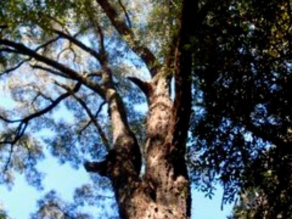 Gray Ironbark (Eucalyptus Paniculata) https://www.sagebud.com/gray-ironbark-eucalyptus-paniculata/