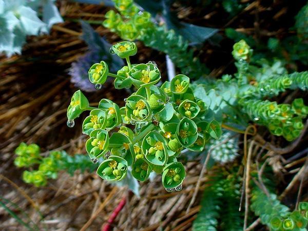 Sea Spurge (Euphorbia Paralias) https://www.sagebud.com/sea-spurge-euphorbia-paralias
