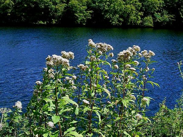 Thoroughwort (Eupatorium) https://www.sagebud.com/thoroughwort-eupatorium