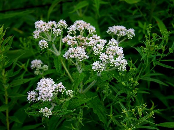 Common Boneset (Eupatorium Perfoliatum) https://www.sagebud.com/common-boneset-eupatorium-perfoliatum
