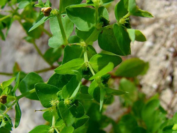 Petty Spurge (Euphorbia Peplus) https://www.sagebud.com/petty-spurge-euphorbia-peplus