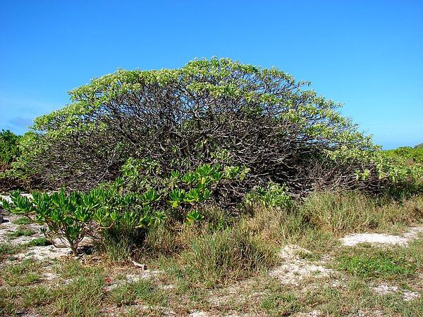 Pinewoods Fingergrass (Eustachys Petraea) https://www.sagebud.com/pinewoods-fingergrass-eustachys-petraea