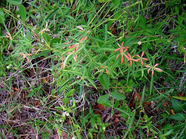 Spurge (Euphorbia) https://www.sagebud.com/spurge-euphorbia