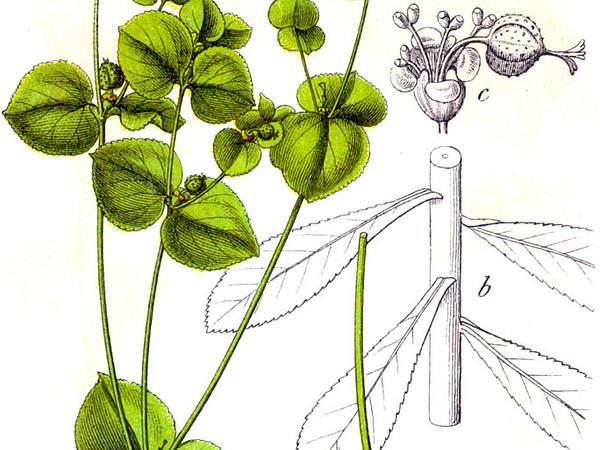Broadleaf Spurge (Euphorbia Platyphyllos) https://www.sagebud.com/broadleaf-spurge-euphorbia-platyphyllos