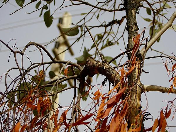 Redbox (Eucalyptus Polyanthemos) https://www.sagebud.com/redbox-eucalyptus-polyanthemos