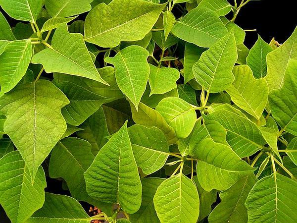 Poinsettia (Euphorbia Pulcherrima) https://www.sagebud.com/poinsettia-euphorbia-pulcherrima