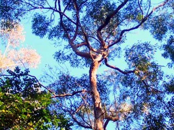 Redmahogany (Eucalyptus Resinifera) https://www.sagebud.com/redmahogany-eucalyptus-resinifera