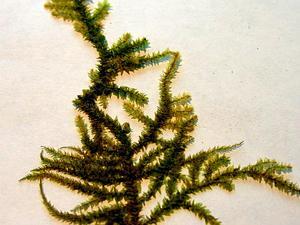 Eurhynchium Moss