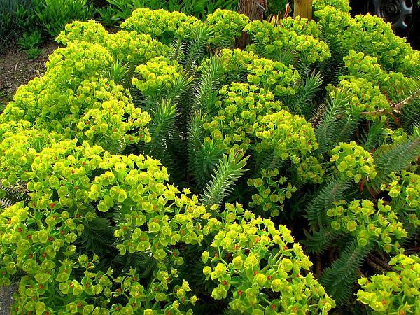 Upright Myrtle Spurge (Euphorbia Rigida) https://www.sagebud.com/upright-myrtle-spurge-euphorbia-rigida/