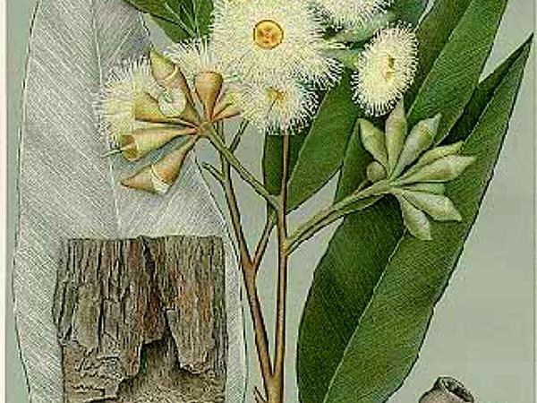 Swampmahogany (Eucalyptus Robusta) https://www.sagebud.com/swampmahogany-eucalyptus-robusta