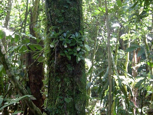Custard Orchid (Eurystyles) https://www.sagebud.com/custard-orchid-eurystyles