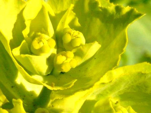 Serrate Spurge (Euphorbia Serrata) https://www.sagebud.com/serrate-spurge-euphorbia-serrata